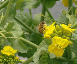菜の花とみつばち