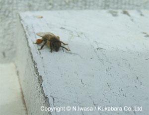 みつばちとはちみつと花粉団子