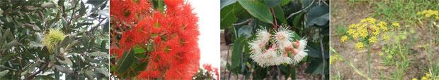 オーストラリアのはちみつについて花